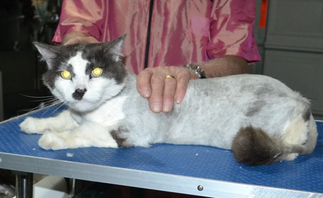 Mambo is a 17 yr old Long hair domestic. He had his nails clipped, matted fur shaved down and ears cleaned.
