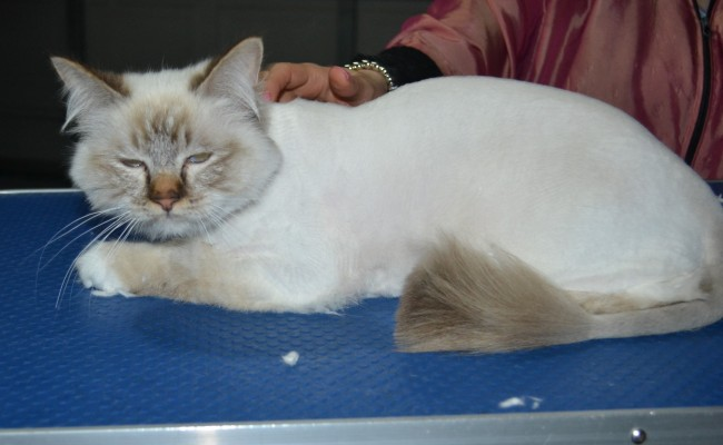 Teddy is a Birman. He had his fur shaved down, nails clipped, and ears cleaned.