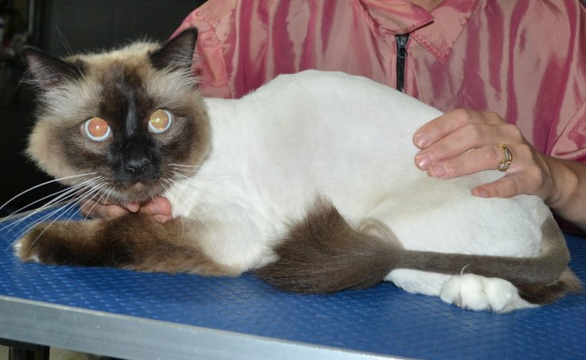 Leo is a Ragdoll. He had his fur shaved down, nails clipped ears cleaned and a wash n blow dry.