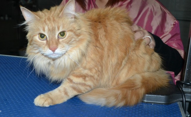 Eggplant is a Long hair Domestic. She had her fur shaved down, nails clipped, ears cleaned and a wash n blow dry.