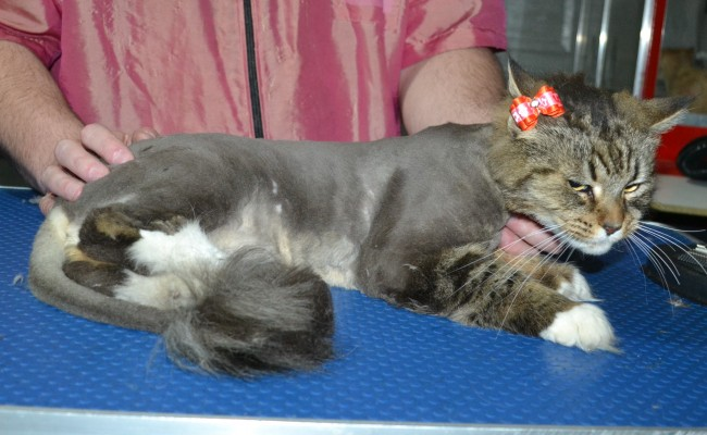 Ratchie is a long hair Domestic. He had his matted fur shaved down, nails clipped, and ears cleaned.