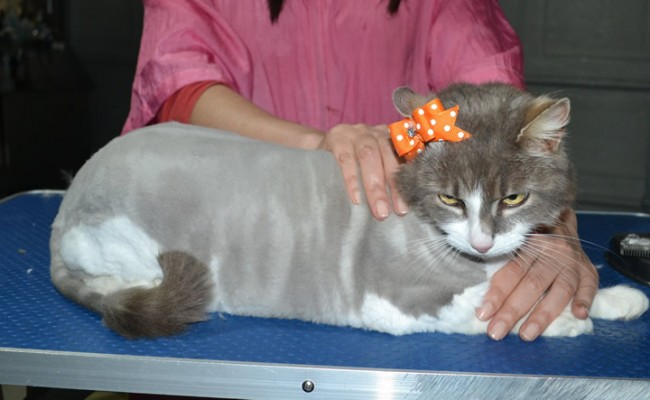 Petal is a Long Hair Domestic. She had her fur shaved down, nails clipped and ears cleaned.