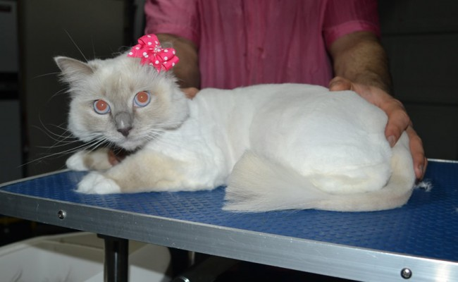Willow is a Ragdoll. She had her fur shaved down, nails clipped and ears cleaned.