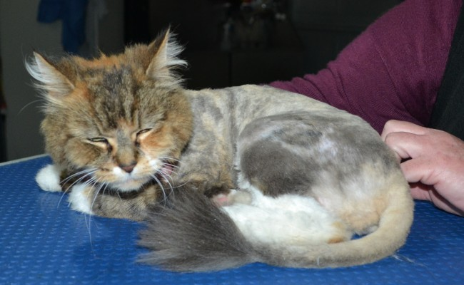 Anastasia is a Long hair domestic. She had her matted fur shaved down, nails clipped and ears cleaned.