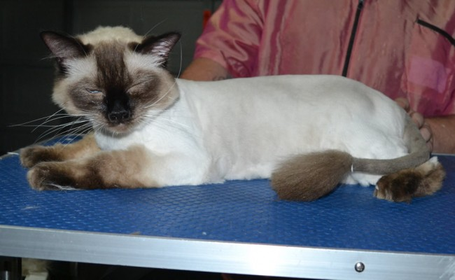 Boots is a Ragdoll. He had his fur shaved down, nails clipped, ears cleaned and a wash n blow dry.