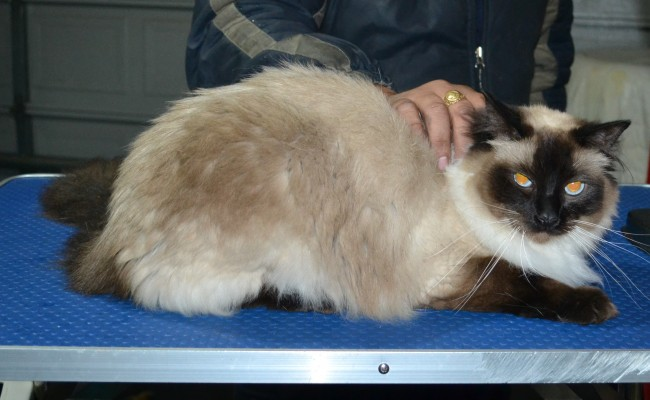 Fluffy is a Ragdoll. He had his matted fur shaved down, nails clipped and ears cleaned.