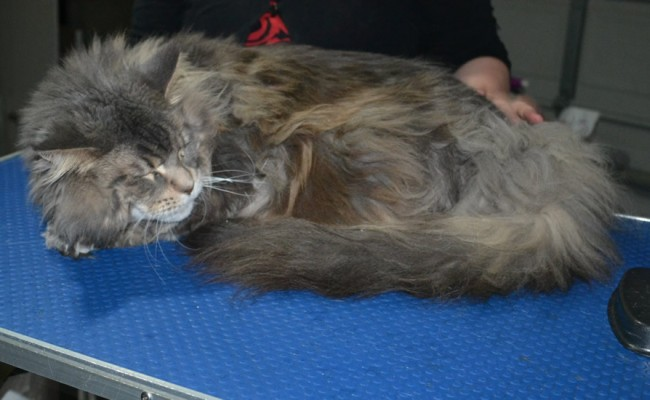 Annie is a Mainecoon. She had her matted fur shaved down, nails clipped and ears cleaned.