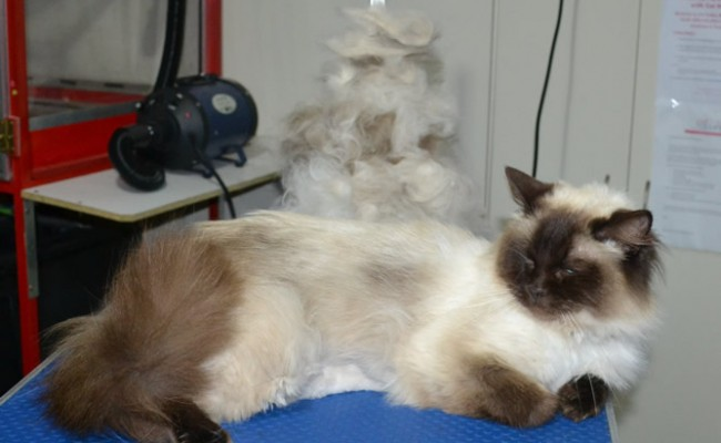 Monty is a Ragdoll. He had had his matted underneath shaved, brushout on top, nails clipped ears cleaned and front Softpaw nail caps.