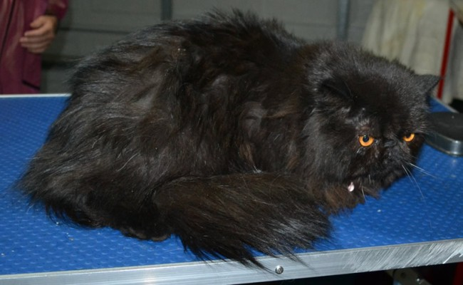 Caviar is a Persian. She had her matted fur shaved down, nails clipped and ears cleaned.