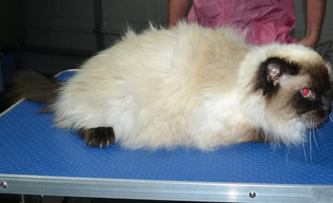 Stella is a Ragdoll. She had her fur shaved down, nails clipped and ears cleaned.