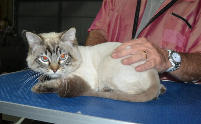 Ash is a Ragdoll. He had his fur shaved down, nails clipped ears cleaned.
