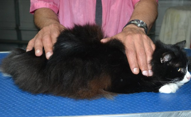 Onzo is a Long Hair Domestic. He had his fur shaved down, nails clipped and ears cleaned.