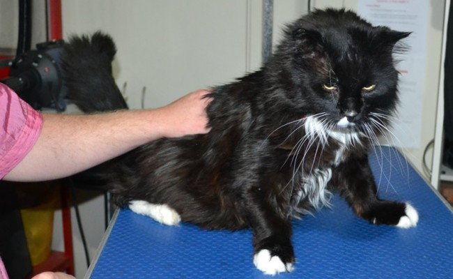 Sylvester is a Long Hair Domestic. He had his matted fur shaved down, nails clipped and ears cleaned and a wash n blow dry.