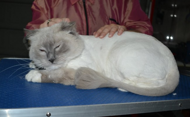 Gatsby is a Ragdoll. He had his fur shaved down, nails clipped ears cleaned and front Softpaw nail caps.