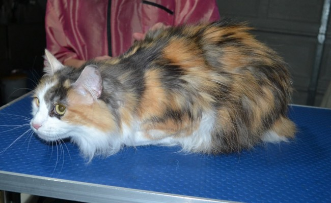 Gizmo is a Long hair domestic. She had her matted fur shaved down, nails clipped and ears cleaned.