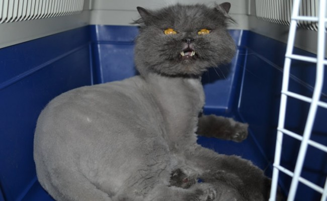 Elvis is a Persian. He had his matted fur shaved down, nails clipped, ears cleaned.