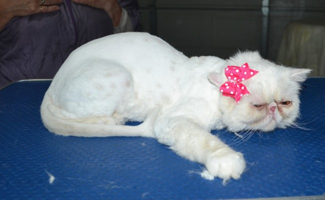 Queenie us an Exotic Short hair. She had her fur shaved down, nails clipped and ears n eyes cleaned.
