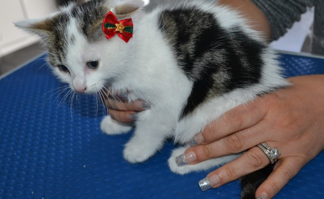 Heart is a 8 week old medium to long hair kitten. She had her nails clipped, ears cleaned and a wash n blow dry.