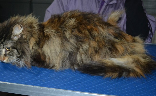 Miley is a Long Hair Domestic. She had her matted fur shaved down, nails clipped and ears cleaned.
