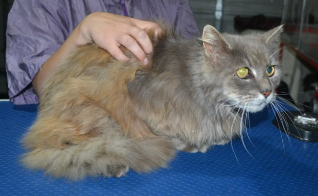 Jasper is a Long Hair Domestic. He had his matted fur shaved down, nails clipped and ears clean.