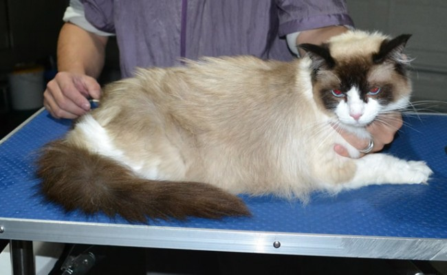 Nala is a Ragdoll. She had her fur shaved down, nails clipped ears cleaned and a wash n blowdry.