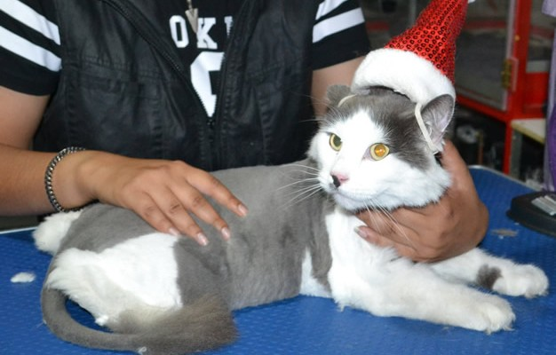 Ash is a Long Hair Domestic. He had his fur shaved down, nails clipped and ears clean.