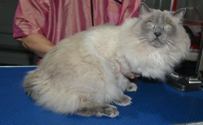 Harley is a Ragdoll. He had his matted fur shaved down, nails clipped, ears cleaned.