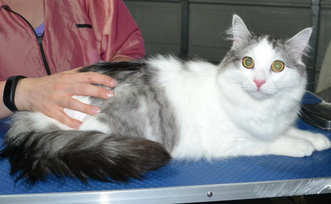 Jesse is a Norweign Forest Cat. He had his fur shaved down short, nails clipped, ears cleaned and a wash n blow dry.