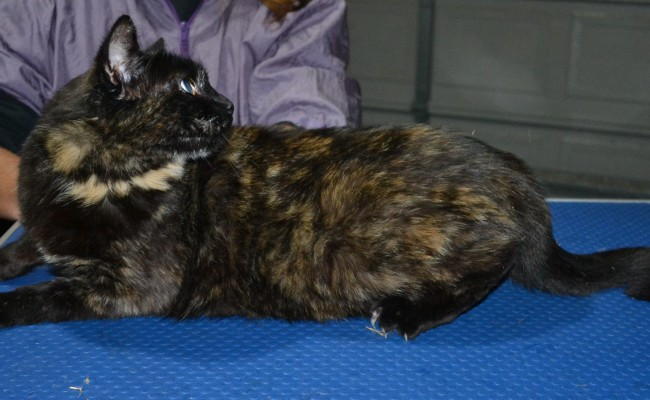 Patch is a Short Hair Domestic. She had her fur shaved down, nails clipped and ears clean.