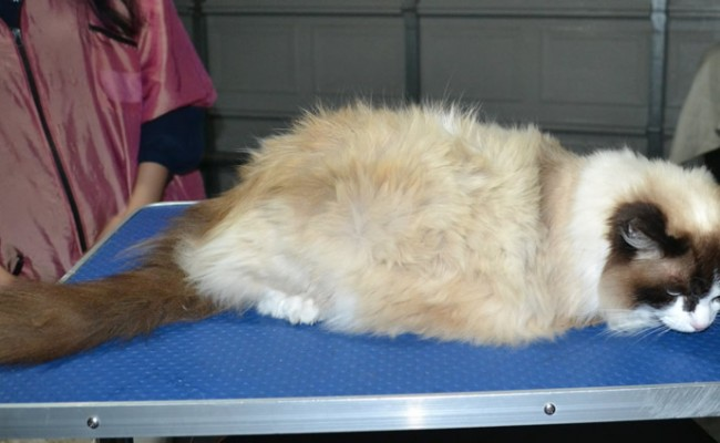 Lucy is a Ragdoll. She had her fur shaved down ,nails clipped, ears cleaned and a wash n blow dry.