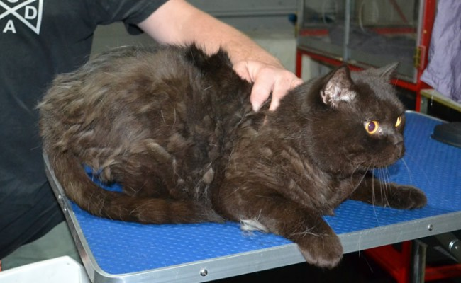 Gizmo is a British Short Hair. He had his fur shaved down, nails clipped and ears clean and a wash n blow dry.