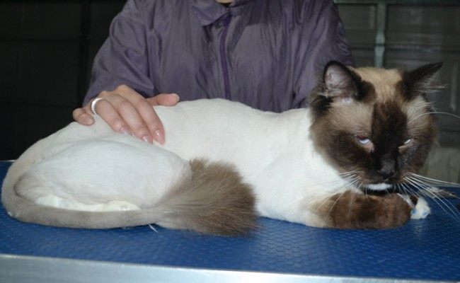 Bear is a Ragdoll. He had his fur shaved down, nails clipped, ears cleaned and a full set of softpaw nails caps.