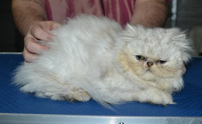 Bromley is a Persian. He had his matted fur shaved down short, nails clipped and ears n eyes cleaned.