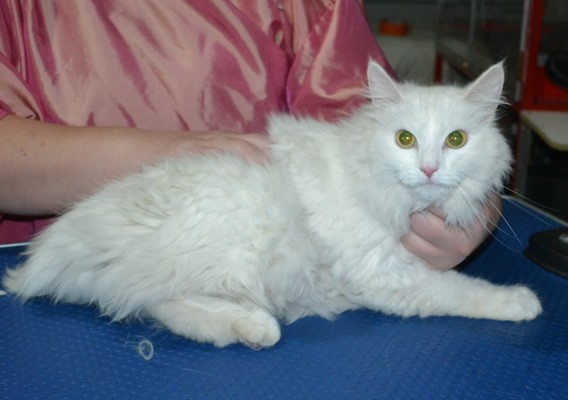 Benni is a Long Hair Domestic. She had her matted fur shaved down ,nails clipped, ears cleaned.