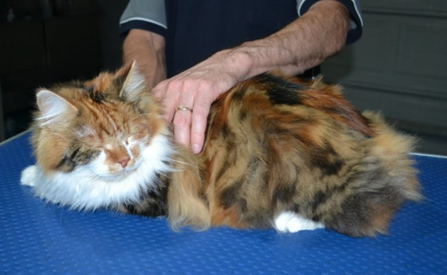 Indy is a Long Hair Domestic. She had her matted fur shaved down, nails clipped, ears cleaned.