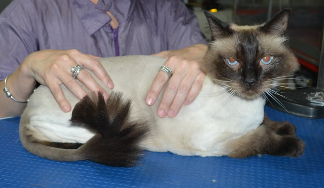Opie is a Ragdoll. He had his fur shaved down, nails clipped ears cleaned.