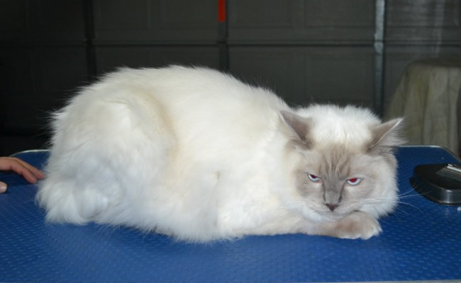Simba is a Ragdoll. He had his matted fur shaved down, nails clipped, ears cleaned.