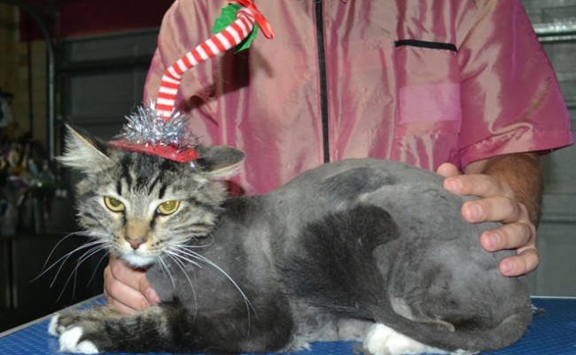 Nakita is a Long Hair Tabby. She had her fur shaved down ,nails clipped, ears cleaned.