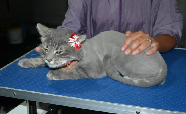 Ousha is a Long Hair Domestic. She had her fur shaved down, nails clipped and ears clean and a wash n blow dry.