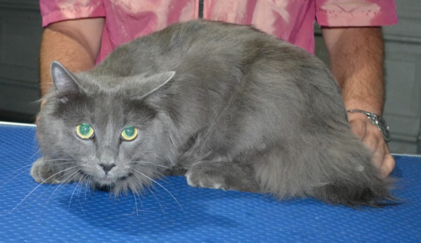Shadow is a Long Hair Russian Blue. He had his fur shaved down ,nails clipped, ears cleaned.