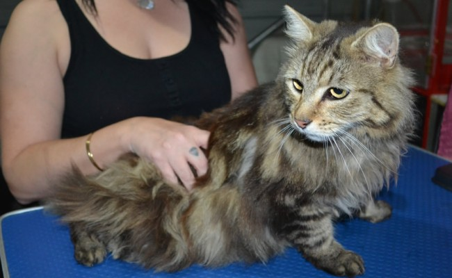 Kittles is a Long Hair Domestic. He had his matted fur shaved down short, nails clipped and ears cleaned.