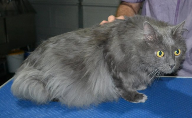 Benson. Is a Long Hair Russian Blue. He had his matted fur shaved down, nails clipped ears cleaned and a wash n blowdry.