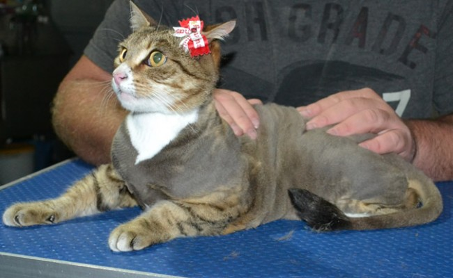 Blackey is a Short Hair Tabby. She had her nails clipped, ears cleaned and her fur shaved down.