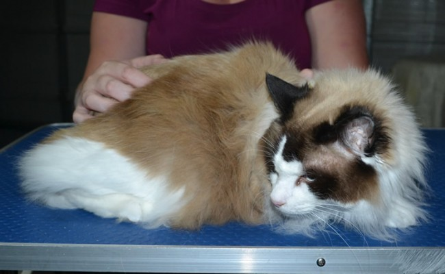 Shrodinger is a Ragdoll. He had his fur shaved down, nails clipped, ears cleaned.