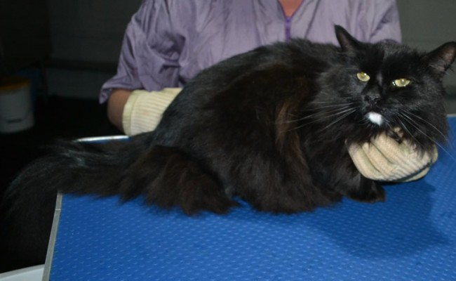 Spot is a Long Hair Domestic. He had his matted fur shaved down short, nails clipped and ears cleaned.