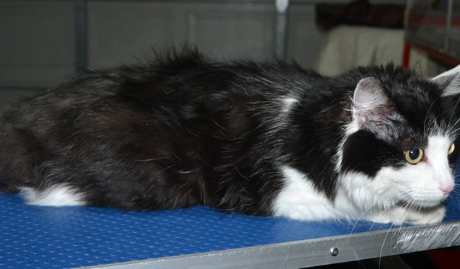 Binjuk is a Long Hair Domestic. She had her fur shaved down short, nails clipped and ears cleaned.