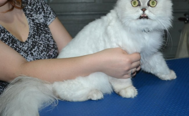 Jeremy is a Persian. He had his matted fur shaved down, nails clipped and ears cleaned.