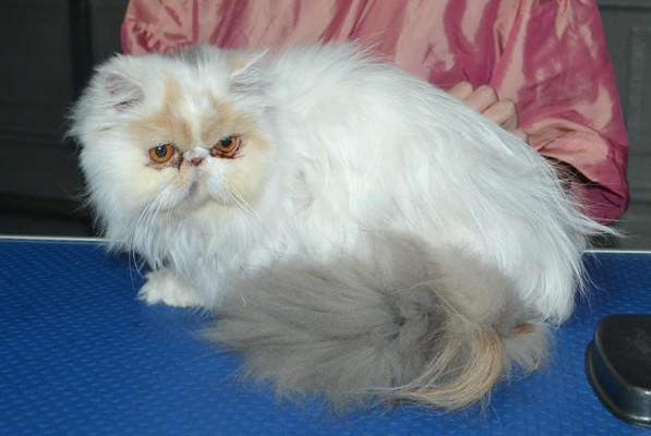 Pixie Dust is a Persian. She had her fur shaved down, nails clipped and a full set of softpaw nail caps.