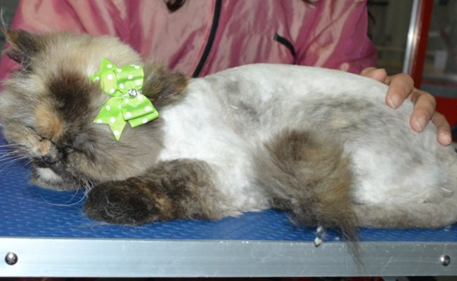 Jojo is a Persian X Ragdoll. She had her fur shaved down, nails clipped and ears cleaned and a wash.
