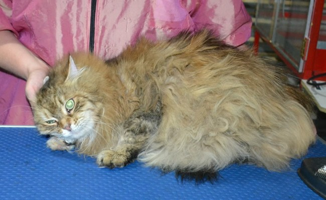 Tatty is a Siberian. She had her matted fur shaved down, nails clipped and ears cleaned.